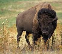 bison-526805__180