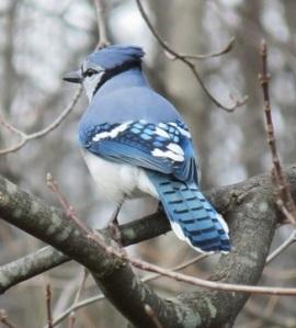 blue-jay-535492_960_720