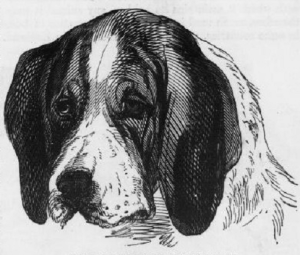 English_Hound_Portrait